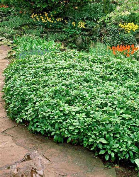 Plante Couvre Sol Plantes Couvre Sol 224 Croissance Rapide Dans Le Jardin