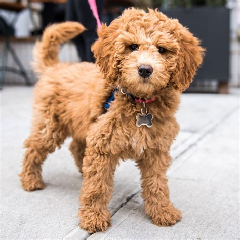 Rory Miniature Goldendoodle 3 Mo Kenmare Cleveland