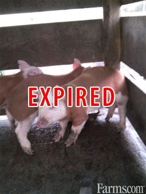 hereford pigs  sale classified farmscom