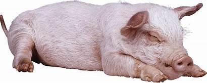 Pig Sleeping Transparent Pluspng 2952 Purepng Cc0