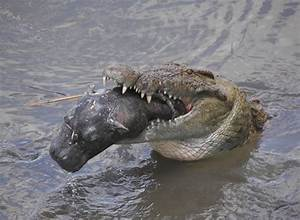 Crocodile attacks shark | Nile Crocodile attacks ...
