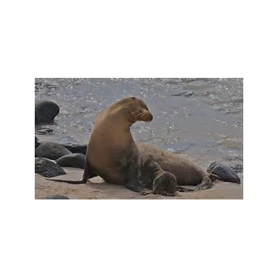 Galapagos Sea Lion - Facts Diet & Habitat Information