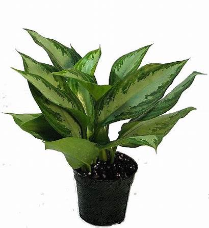 Evergreen Chinese Oxygen Plants Producing Health Improve