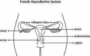 Anatomy And Physiology Of The Uterus