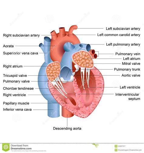 To Human Heart Arteries Diagram Widowmaker