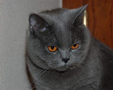 Britų mėlynoji katė   MyPets.lt