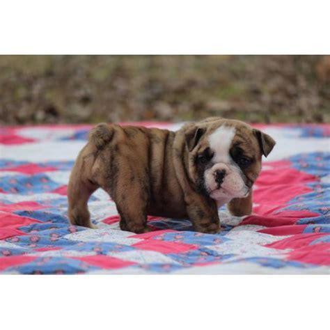 akc standard akc english bulldog puppies  scobey