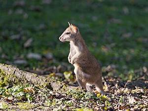 Cute baby wallaby Free stock photos in jpg format for free ...