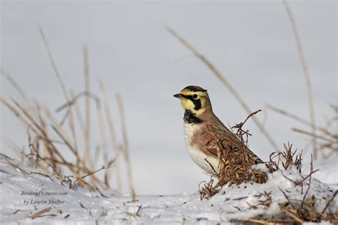 how do birds find enough to eat in the winter the horned
