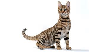 toyger cat toyger cat breed information