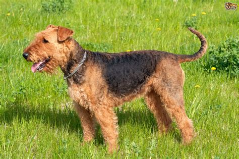 do airedale puppies shed top grooming tips for airedale terriers pets4homes