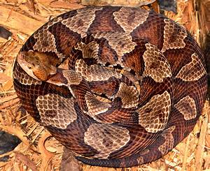 Copperhead Snakes and Water Snakes - The Infinite Spider