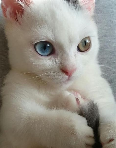 kitten eye color 191 best images about heterochromia on cats