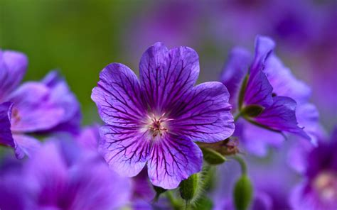 Wallpapers Backgrounds Purple Flowers Wallpaper