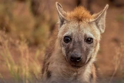 Hyena Animal Eating Selective Pexels Leopard Hienas