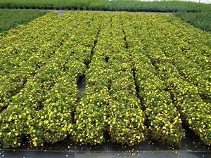 Bodendecker Gelb Blühend : f nffingerstrauch kobold f r 1 89 euro ~ Frokenaadalensverden.com Haus und Dekorationen