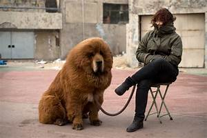 tibetan mastiff puppies as adorable as they are expensive photos