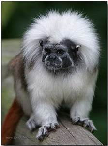 Looking for a Baby Cotton Top Tamarin