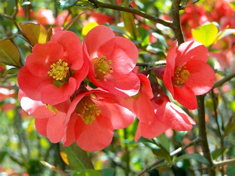 flowering quince seattle trekker flowering quince
