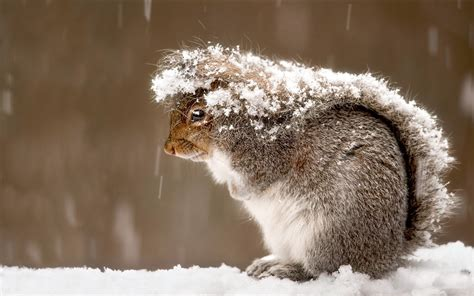 Animals In Snow Wallpaper - snow squirrel animals wallpapers hd desktop and mobile