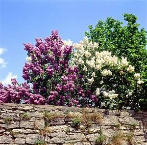 Flieder Schneiden Video : flieder richtig pflanzen schneiden und vermehren garten blog ~ Orissabook.com Haus und Dekorationen