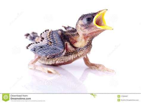 hungry baby sparrow royalty  stock photography image