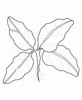 Spinach Coloring Pages Vegetable Sketch Template Green sketch template