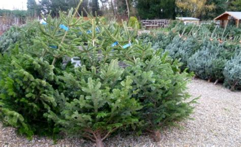 real christmas trees derby nottingham leicestershire
