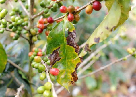 Coffee Leaf Rust Damages Fields Kicking Horse Coffee Metro Headquarters Is Organic Wallpaper And Laptop Cup Download Virtual Pictures Colour Annual Report