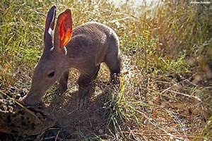 You may know that Aardvark are specialised to eat termites ...
