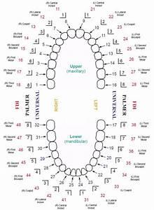 38 Printable Baby Teeth Charts  U0026 Timelines  U1405 Templatelab