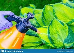 Spraying From Manual Spray Of Plants And Flowers Stock