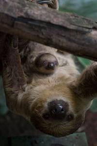 Surprise Sloth Baby Is A London Zoo First