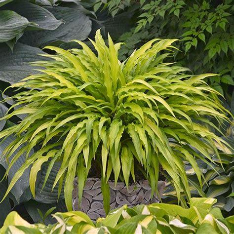 best perennials for shade the best new shade perennials for 2014