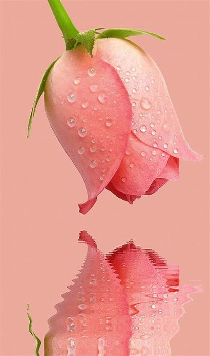 Flowers Roses Rose Dying Animated Flower Wallpapers