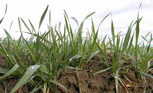 Owyhee Agriculture  Winter Wheat Update
