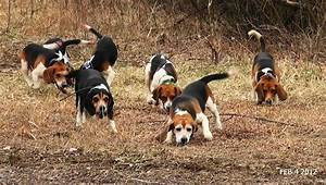 Skyview's Beagles Rabbit Hunt With Fortier And Reed No ...