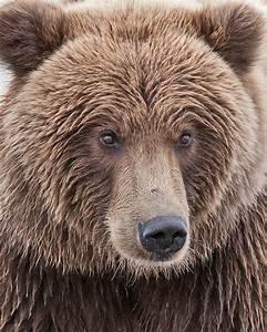 Coastal Brown Bear Closeup Photograph by Gary Langley