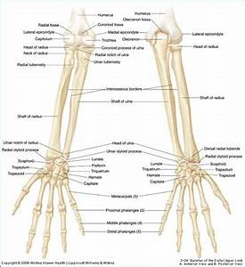 Human Anatomy. Ulna and Radius Anatomy Definition: radius ...