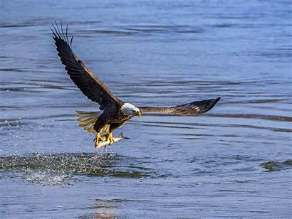 Conowingo Eagles Dam Bird Harford Club Host