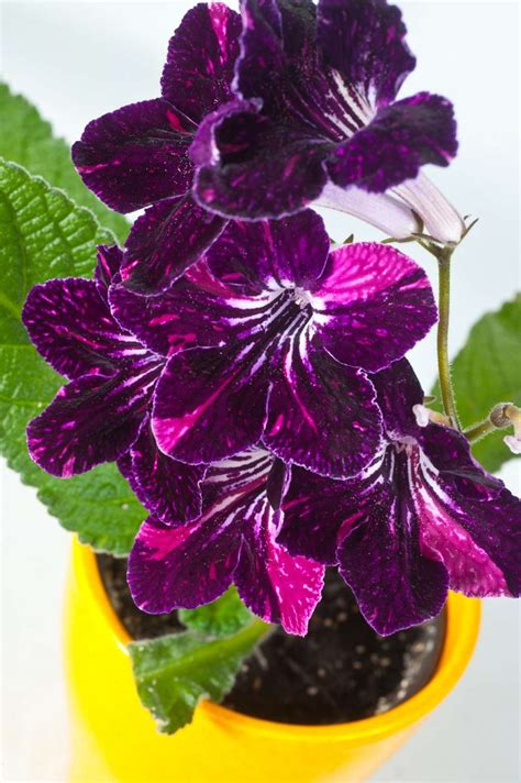 add some color 5 cheery easy to grow indoor flowering plants apartment therapy