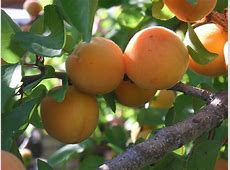 Fruit Trees San Diego Guide The Best Trees To Plant