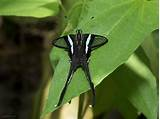 Green Dragontail Butterfly: Identification, Facts, & Pictures