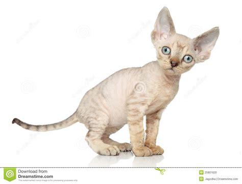 Devon Rex Kitten Stock Photo. Image Of Portrait, Indoor