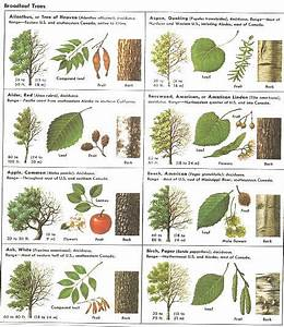 Nc Tree Identification Chart How Can Leaves Identify A Tree Phenology Science With