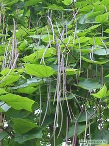 Baum Mit Langen Schoten : trompetenbaum catalpa bignonioides fr chte bestimmen ~ Lizthompson.info Haus und Dekorationen