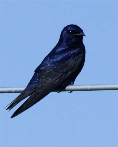 nys purple martin project about