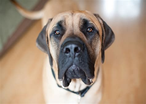 dogs that dont shed bloodhound large breeds that don t shed 3 breeds picture