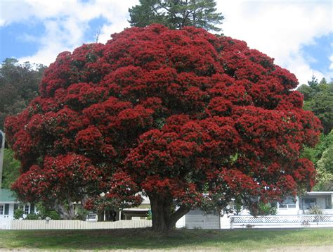 New Zealand Christmas Tree Sanjonmotel
