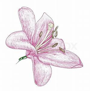 Flowers lily, painting sketch Vector Colourbox